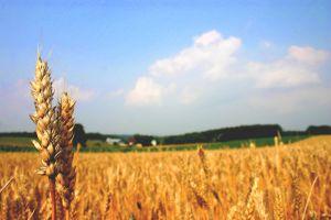 小麦粉がメタボに効く?